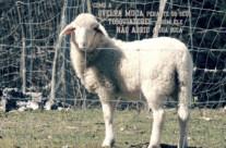 Como a Ovelha