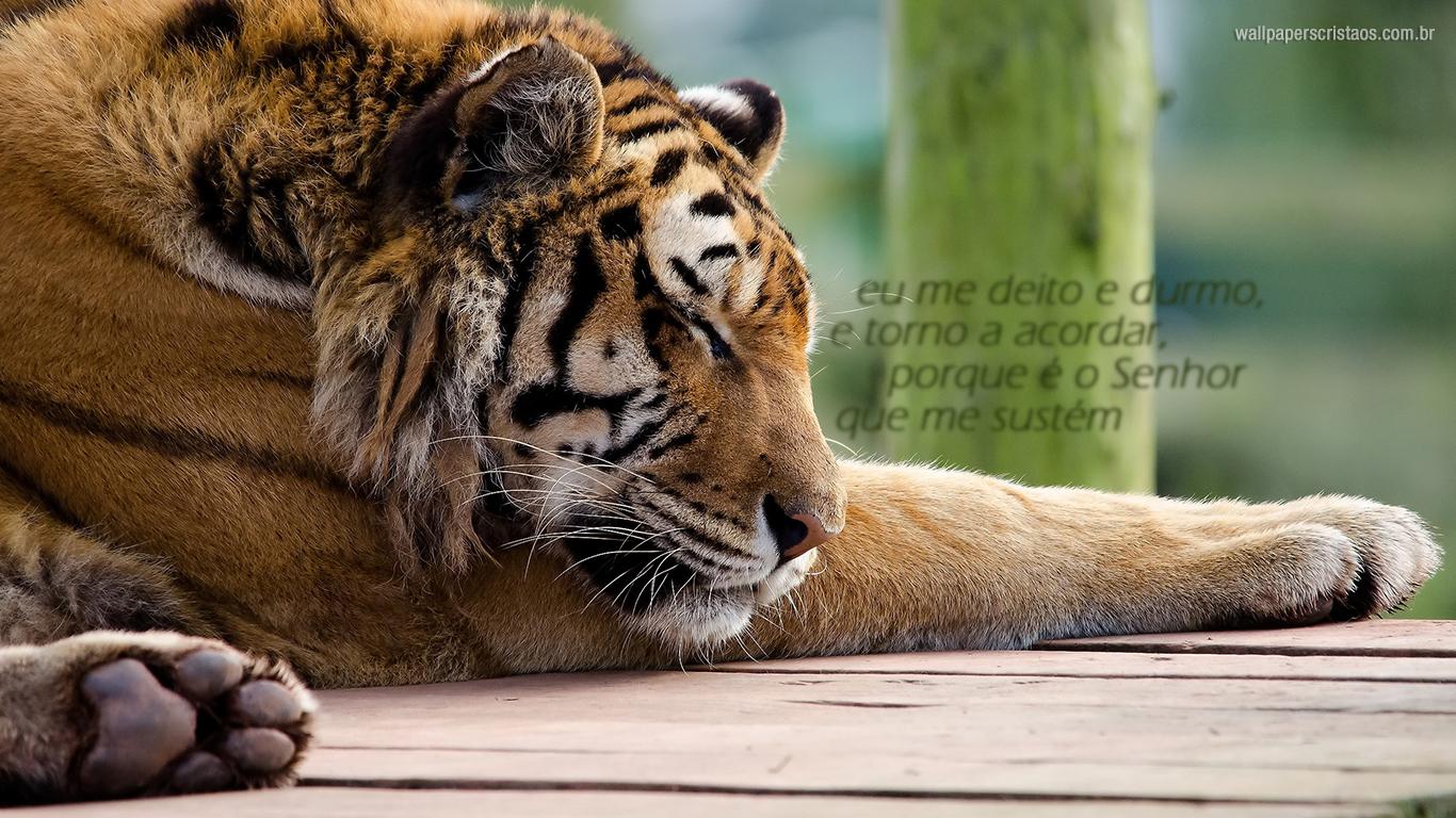 wallpaper cristao hd eu me deito e durmo Senhor sustém tigre_1366x768